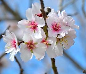 almond_blossom_ibiza_shakura