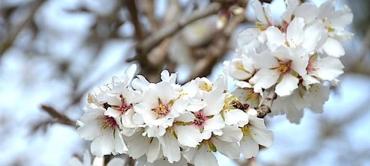 la historia de los almendros en flor